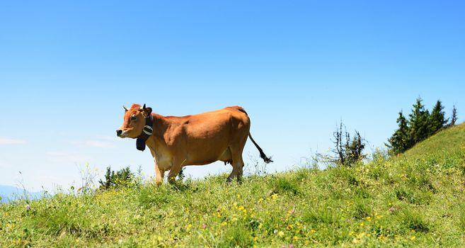 Alpine cow in summer