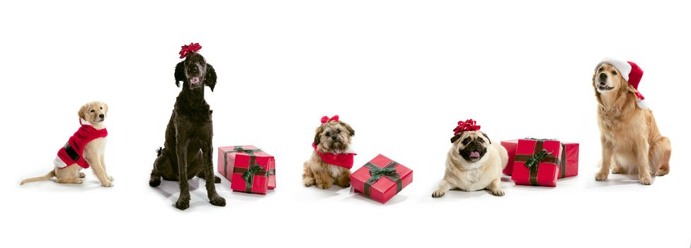 Dogs in Santa hats with Christmas presents sitting on a white background.