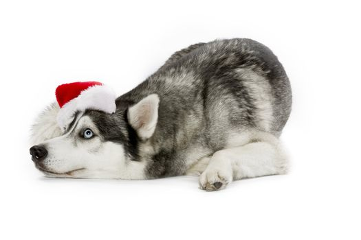 christmas husky