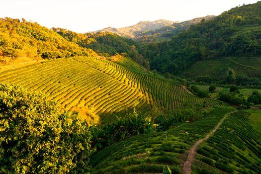 Tea plantation in village Mae Salong, Chiang Mai province, Thailand