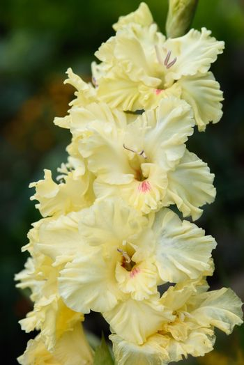 Gladiolus inflorescence with pistils and stamens in detail