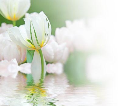 Beautiful tulips at springtime