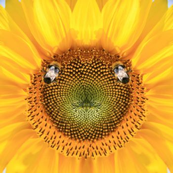 Beautiful sunflower on daytime with a bee