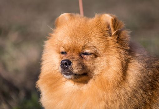 Portrait of cute pomeranian spitz