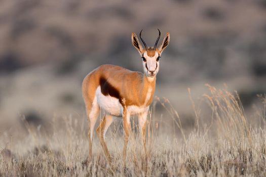 Springbok antelope in grassland