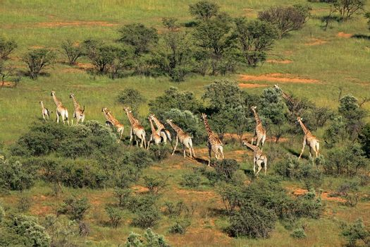 Aerial view of a herd of giraffes