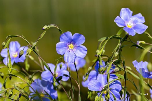 A species of perennial herbaceous plants of the genus Flax of the Flax family. Close-up