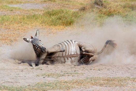 Plains zebra rolling in dust