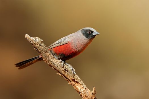Black-faced waxbill perched on a branch