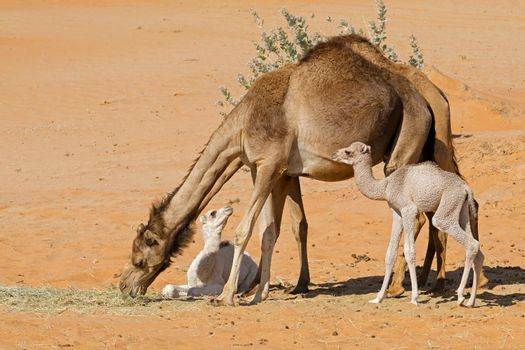 Camels with young calves