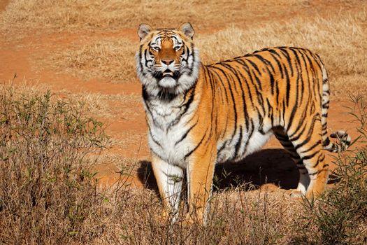 Alert Bengal tiger