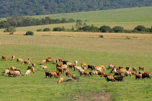 Dairy cows grazing on green pasture