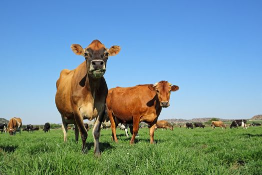 Dairy cows on green pasture