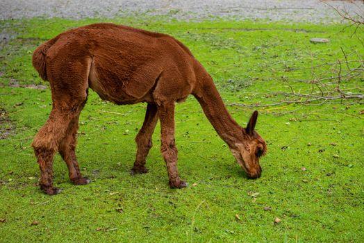 Beautiful young brown llama is eating green grass