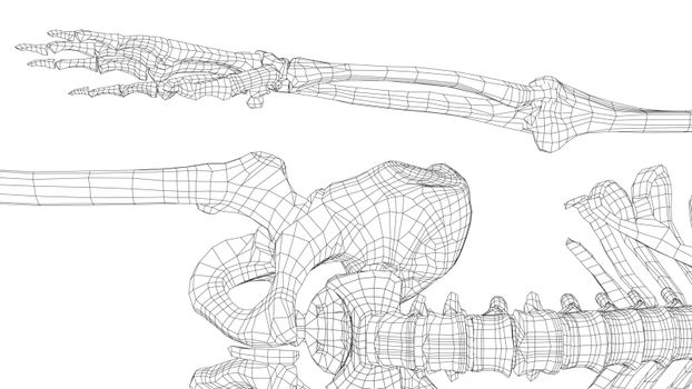 Human skeleton. Vector