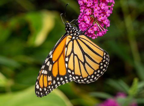 Beautiful Monarch butterfly feeding in garden