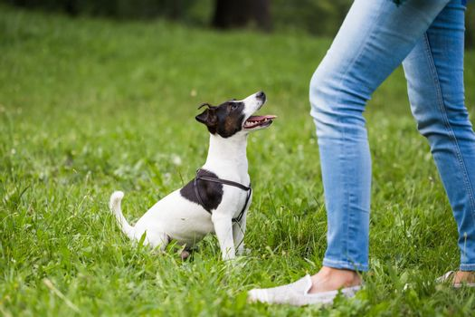 Dog Jack Russell Terrier looking and waiting for command from his owner