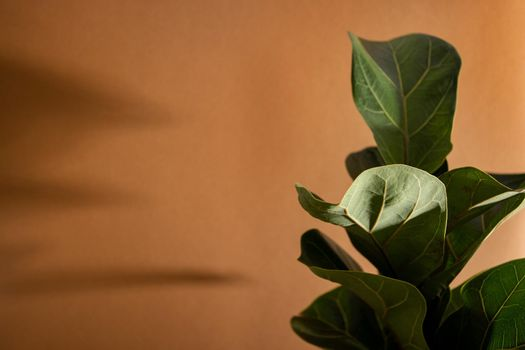 Green leaves of Fiddle Fig or Ficus Lyrata. Fiddle-leaf fig tree the popular ornamental tropical houseplant on brown background,, Air purifying plants for home, Houseplants With Health Benefits