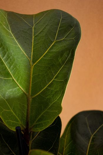 Green leaves of Fiddle Fig or Ficus Lyrata. Fiddle-leaf fig tree the popular ornamental tropical houseplant on brown background. Air purifying plants for home, Houseplants With Health Benefits