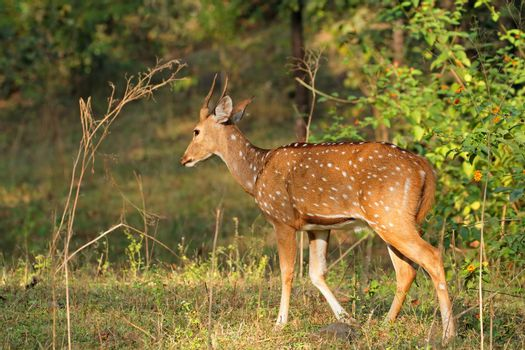 Male spotted deer - India