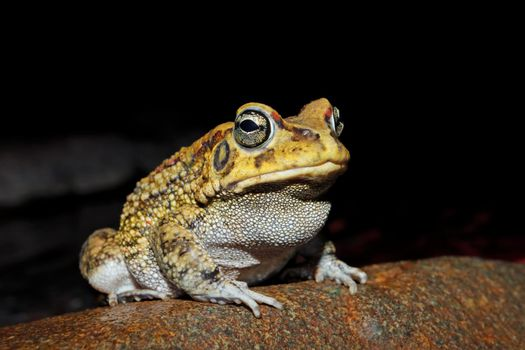 Close-up of an olive toad