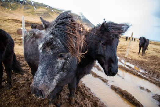 Icelandic horses stand close together in the windy cold winter weather with hair blowing in the wind majestic black and brown warm tones
