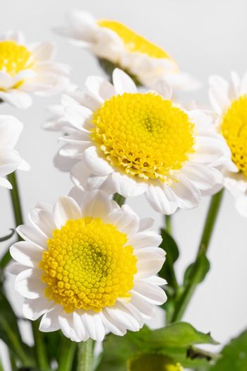 White daisy with yellow stamen at closeup with white background, macro shot under bright light