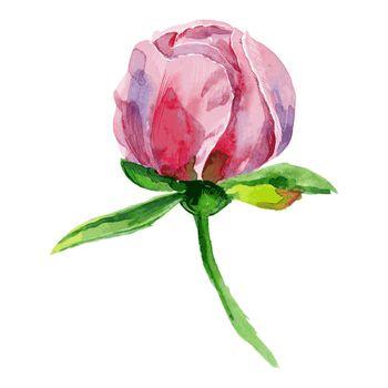 watercolor bud of peony