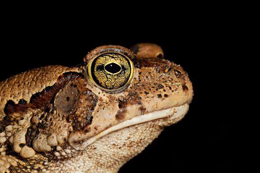 Guttural toad portrait on black