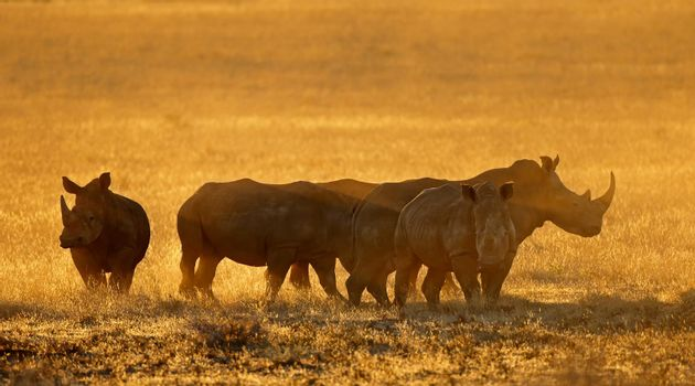 White rhinoceros in dust at sunset