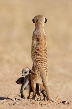 Alert meerkat with babies