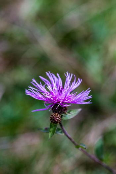 Purple flower in a meadow
