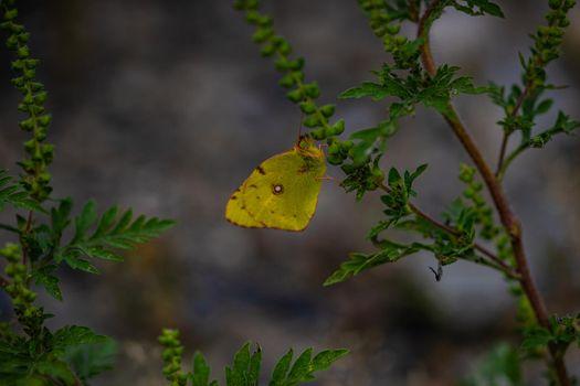 Yellow lemon butterfly