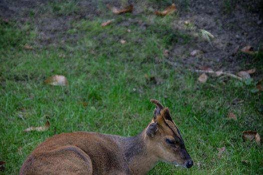 little muntjak deer