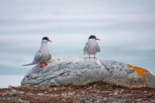 Arctic Tern, Nordvest-Spitsbergen National Park, Arctic, Svalbard, Norway