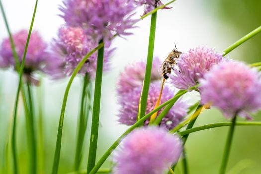 flowering chives in a green farm garden with bee