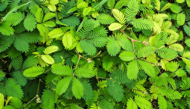 Leaves of Sensitive plant or mimosa pudica