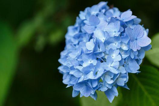 Bush of blooming blue Hydrangea