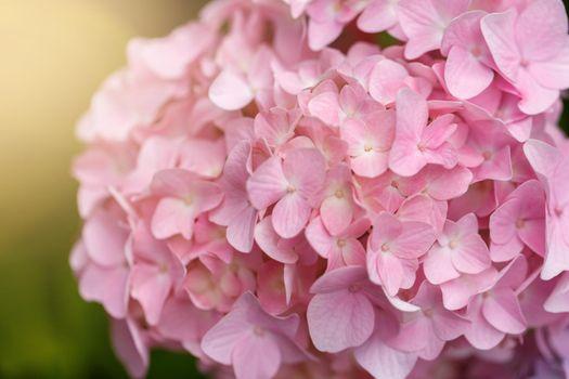 Bush of blooming pink Hydrangea