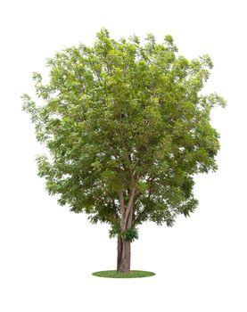 The freshness big green tree.