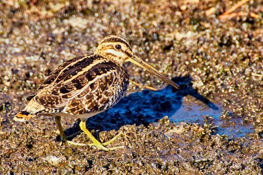 Close up of bird with long beak on mud