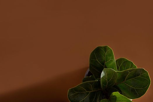 Green leaves of Fiddle Fig or Ficus Lyrata. Fiddle-leaf fig tree the popular ornamental tropical houseplant on brown background copy space