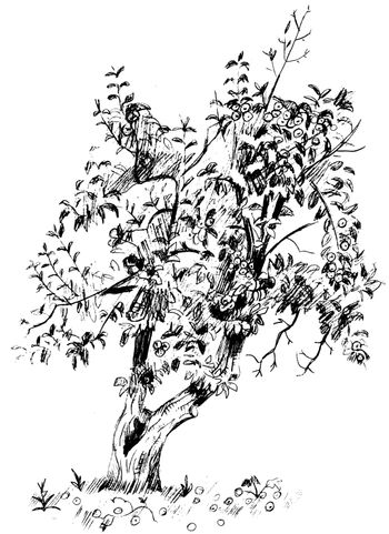 Vector image of pear tree with branches and fruits