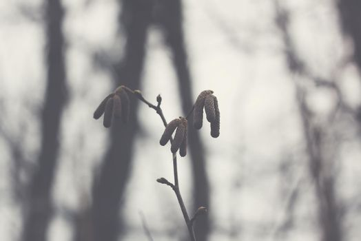 Alder tree branches with catkins