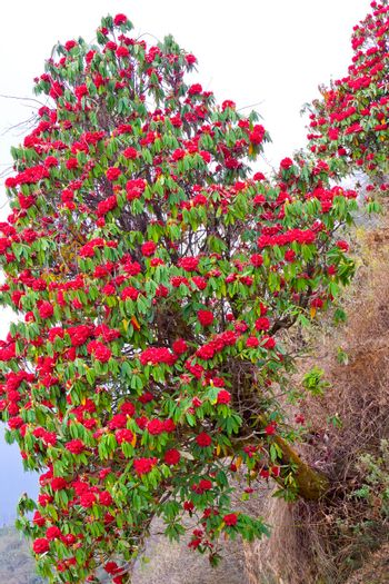 Flowering Rhododendron, Annapurna Conservation Area, Himalaya, Nepal