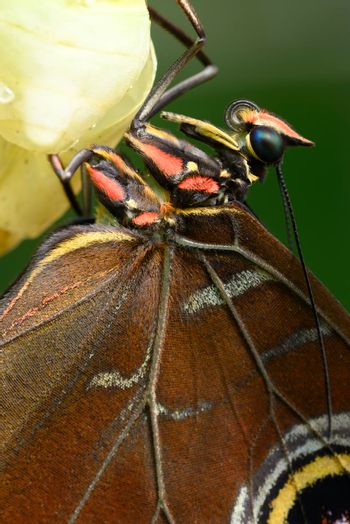 Close up of Morpho butterfly coming out of chrysalis