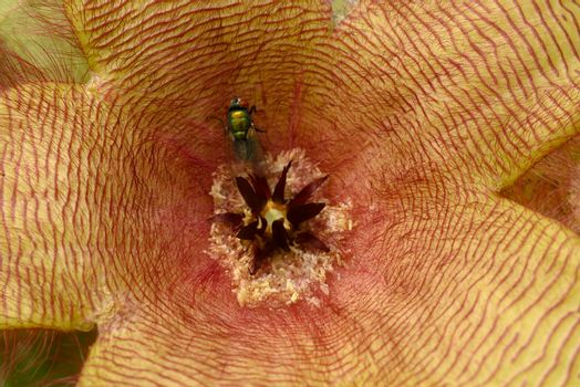 Flower detail of Stapelia gigantea,  carrion plant with green flies laying eggs at its center.