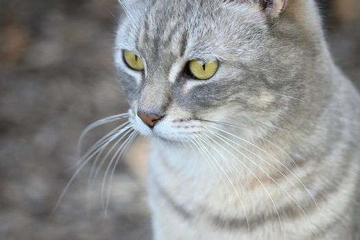 Grey, striped domestic cat looking curious