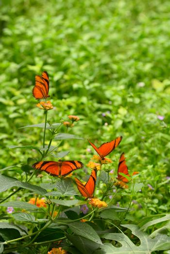 Orange tropical butterflies on grass with flowers