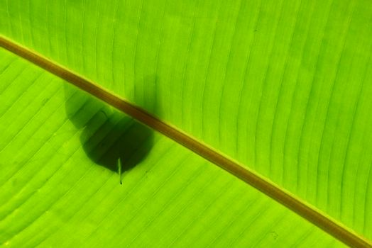 Shadow of tropical butterfly against banana leaf